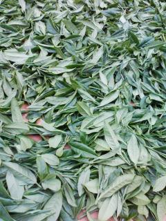 茶摘み2日目